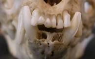 Marten Teeth