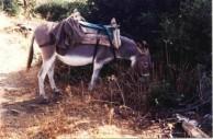 Voulgari donkey, Karavas, 1994.