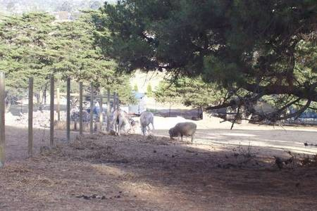 Two donkeys and a sheep grazing in the surrounds of the Monastery at Geelong. - 100_1270