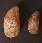 Bearded Horse Mussels