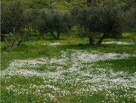 Spring flowers under the olives