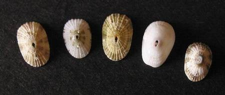 Keyhole Limpet Line-up