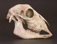 Small goat skull