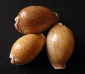 Three Cowries