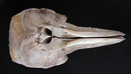 Large Dolphin Skull, top view
