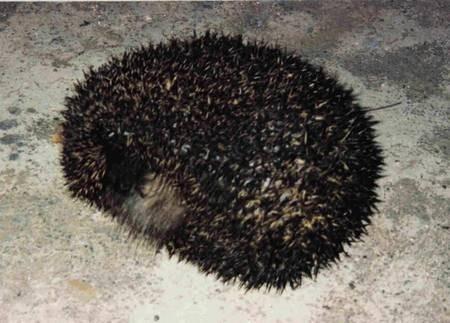 Hedgehog. Kythera. 1994.