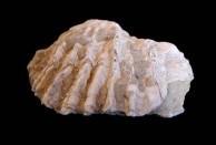 Adriatic Oyster shell