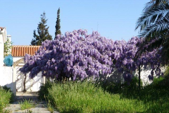 Wisteria Vine - April