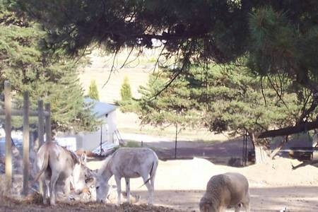 Two donkeys and a sheep grazing in the surrounds of the Monastery at Geelong. - 100_1267