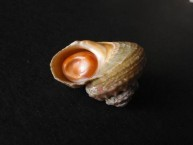 Rough Star with Operculum