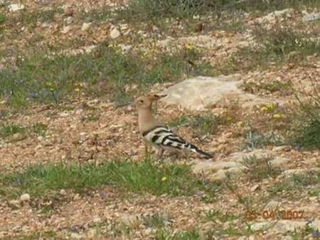 A hoopoe near Karavas