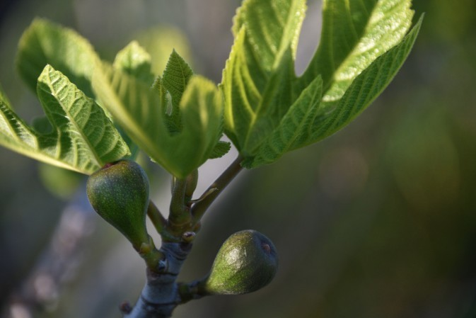 The first figs of summer
