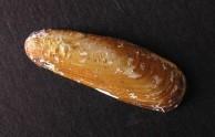 Date Mussel