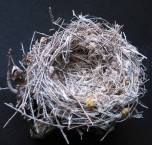 Shrike Nest