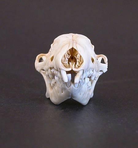 Hedgehog Skull, front view