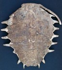 Loggerhead Turtle Shell
