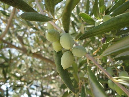 Olives outside Myrtidia Monastery - Sept 2010