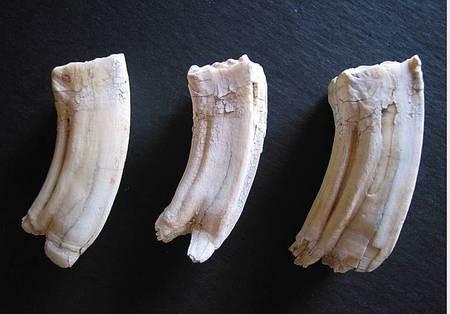 Cow Teeth